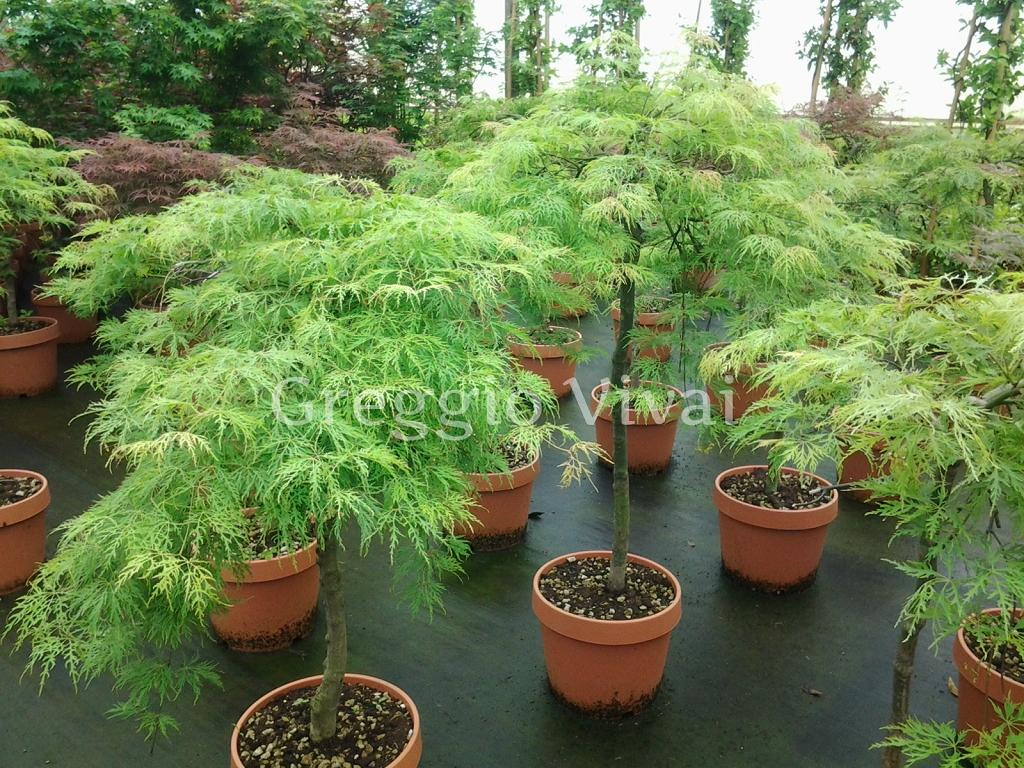 Vivaio Acero Rosso : Acero dissectum produzione e vendita greggio vivai