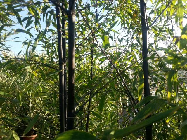Phyllostachys nigra vendita bamboo greggio vivai for Bamboo coltivazione
