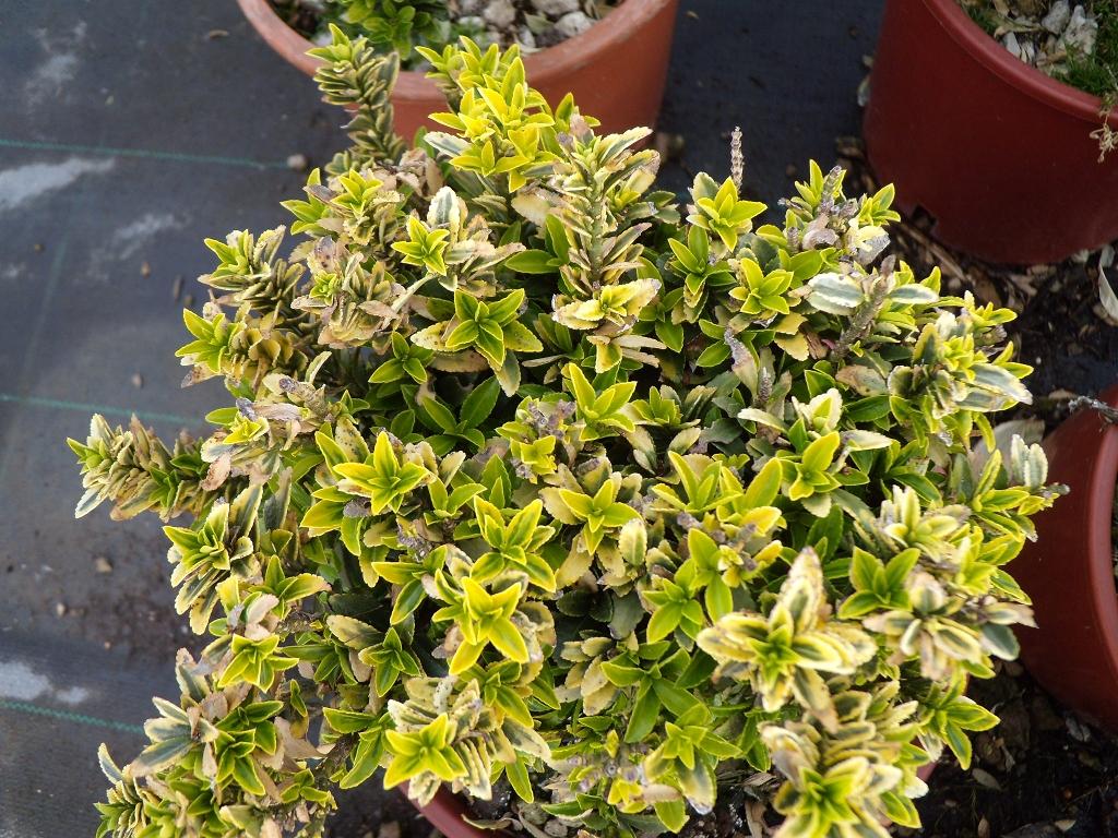 Euonymus pulchellus produzione e vendita greggio vivai for Piante da cespuglio