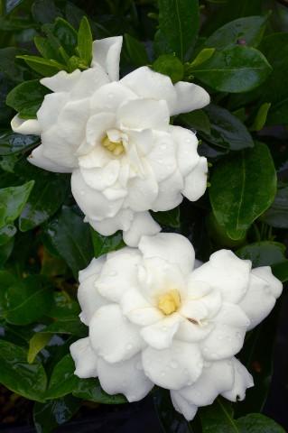 Gardenia double mint produzione e vendita greggio vivai - Gardenia pianta da interno o esterno ...
