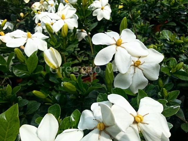 Gardenia kleim 39 s hardy produzione e vendita greggio vivai - Gardenia pianta da interno o esterno ...