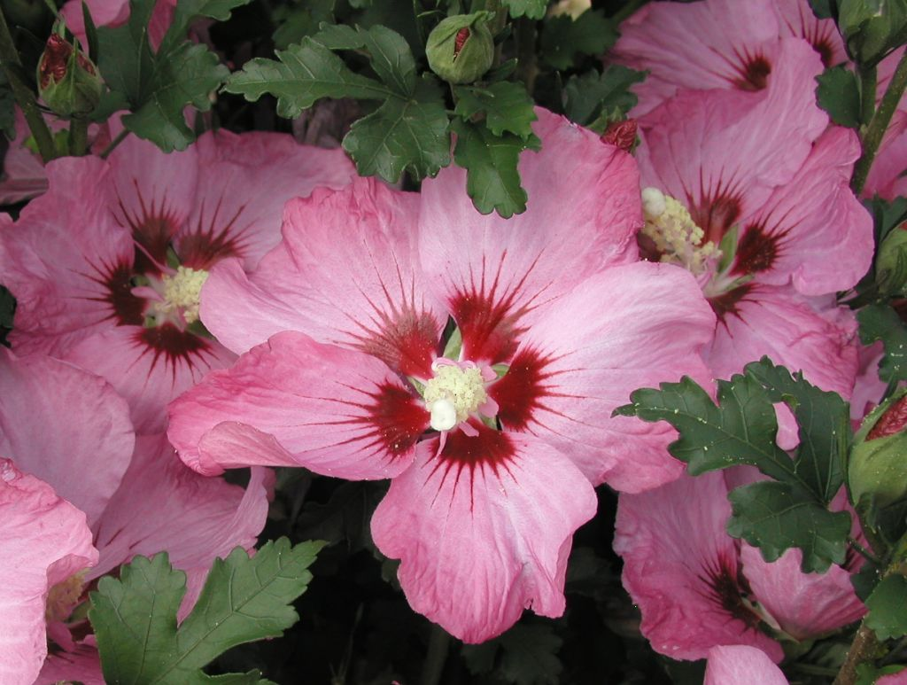 Hibiscus syriacus Lavander Dream - Production and sale | Greggio Vivai
