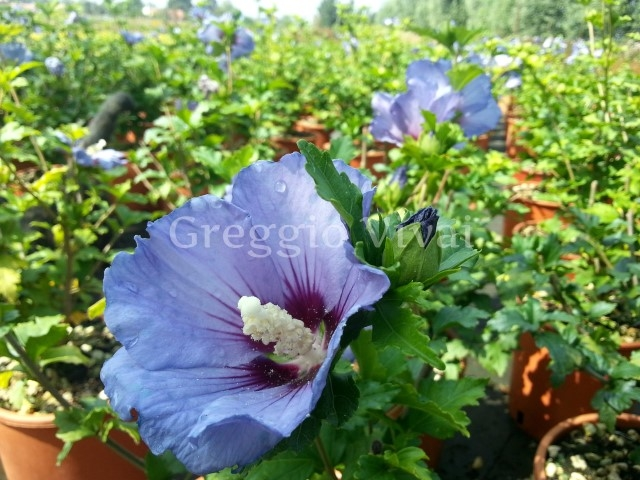 hibiscus syriacus ultramarine production et vente greggio vivai. Black Bedroom Furniture Sets. Home Design Ideas