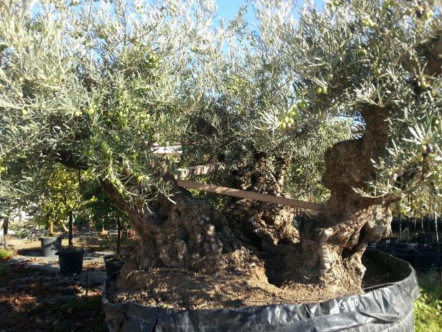 Olea europea vendita olivi esemplati ulivi alberi for Vendita piante ulivo