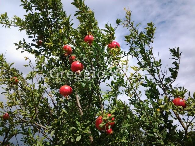 Vivaio Rosso Melograno : Linoci melograno made in sud agronotizie vivaismo e sementi