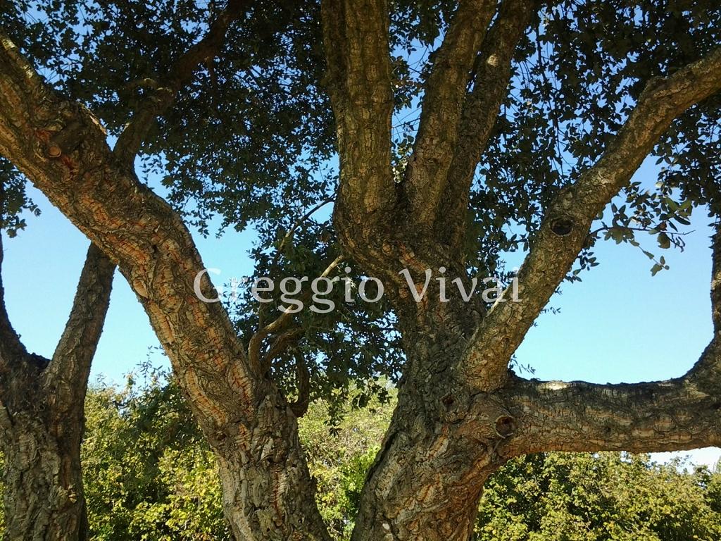 Vivaio Margine Rosso : Quercus suber quercia vendita esemplari greggio vivai