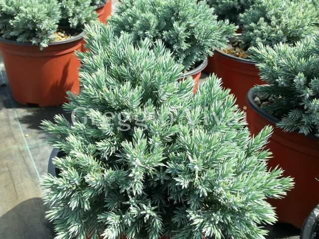 Juniperus squamata blue star coltivazione e vendita for Conifere nane