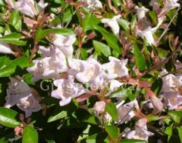 abelia_grandiflora_petite_garden.jpg