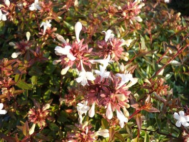 abelia_grandiflora_sherwood.jpg