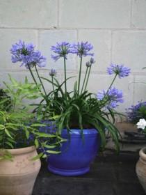 agapanthus-africanus-pitchoune-blue.jpg