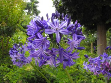agapanthus-northern-star.jpg