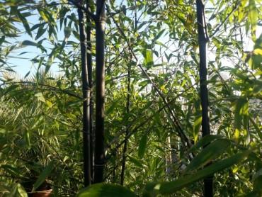 bamboo_nigra.jpg