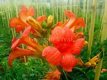 bignonia_grandiflora_arancio.jpg