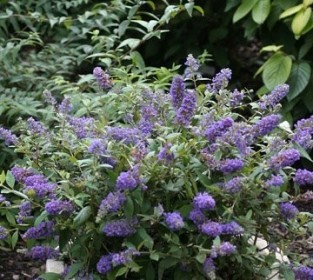 buddleia_blue_chip1.jpg