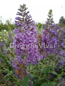 buddleja_papillon_blue.jpg