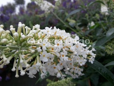 buddleja_papillon_white.jpg