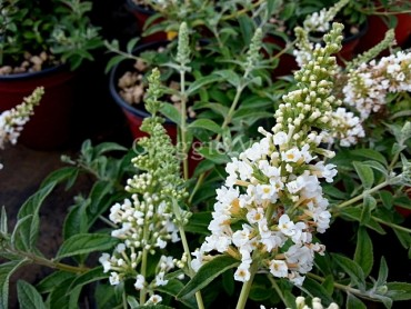 buddleja_white_chip.jpg