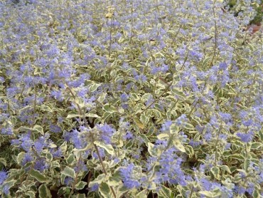 caryopteris_white_surprise_5lt.jpg