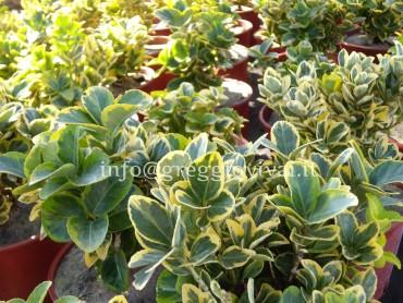 euonymus_japonicum_aurea.jpg