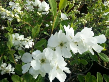 exochorda_the_bride_small.jpg