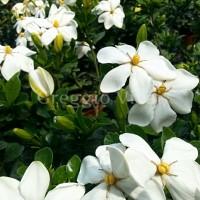 gardenia_kleim_s_hardy.jpg