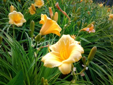 hemerocallis_stella_de_or.jpg