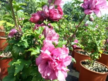hibiscus_duc_de_bramant.jpg