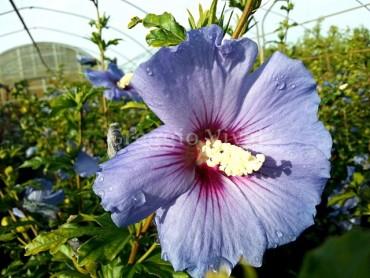 hibiscus_syriacus_oiseau_blue.jpg