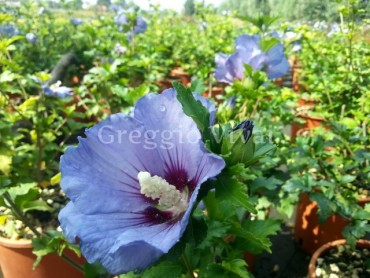 hibiscus_ultramarine.jpg