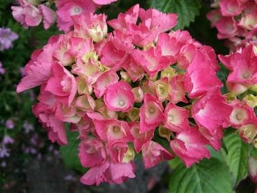 hidrangea_macrophylla_red_baron_small.jpg