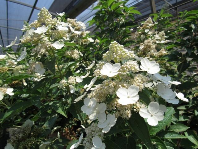 hydrangea-prim-white-small.jpg