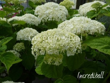 hydrangea_arborescens_incrediball.jpg