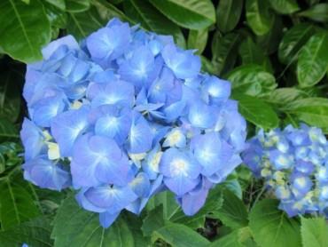 hydrangea_bela_blue.jpg
