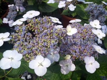 hydrangea_bleu_bird.jpg