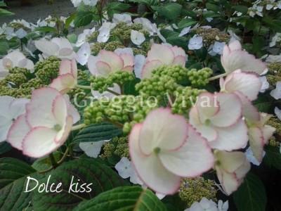 hydrangea_dolce_kiss.jpg