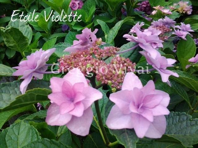 hydrangea_etoile_violette.jpg