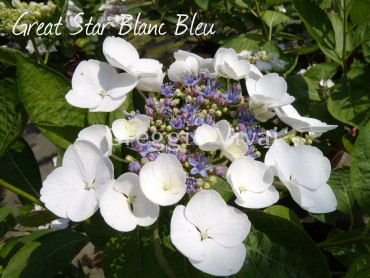 hydrangea_great_star_blanc_bleu1.jpg