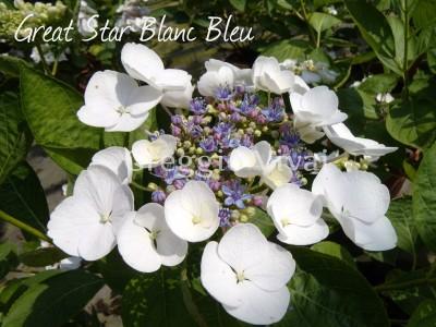 hydrangea_great_star_blanc_bleu1.jpg
