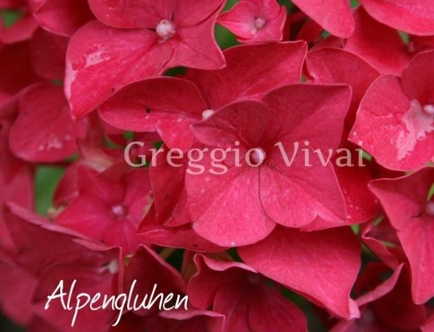 hydrangea_macrophylla_alpengluhen.jpg