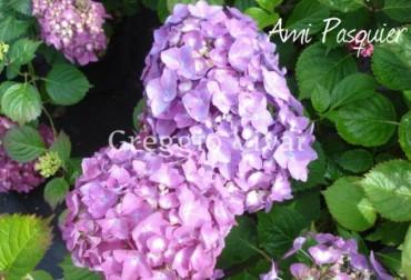hydrangea_macrophylla_ami_pasquier.jpg