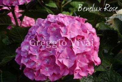 hydrangea_macrophylla_benelux_rose.jpg