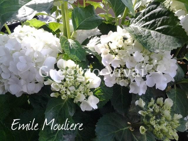hydrangea_macrophylla_emile_mouliere.jpg