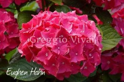 hydrangea_macrophylla_eughen_hahn.jpg