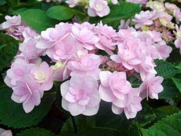 hydrangea_macrophylla_forev.jpg