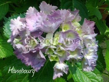 hydrangea_macrophylla_hambourg.jpg
