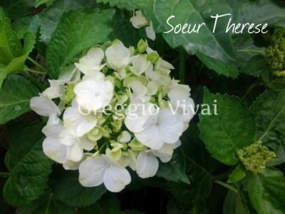 hydrangea_macrophylla_soeur_therese.jpg