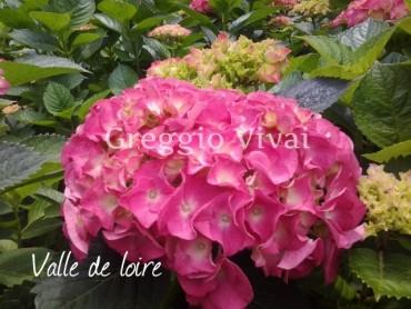 hydrangea_macrophylla_valle_de_loire.jpg