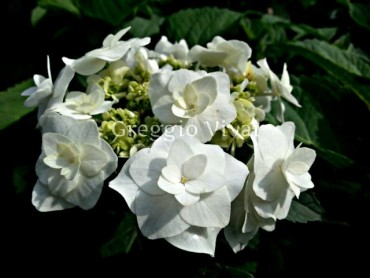 hydrangea_macrophylla_wedding_gown1.jpg