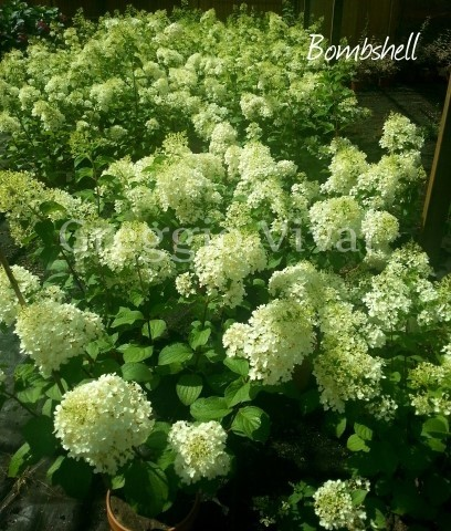 hydrangea_paniculata_bombshell.jpg