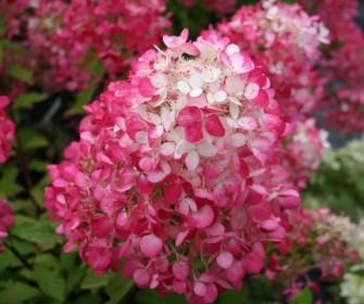 hydrangea_paniculata_diamant_rouge_small.jpg